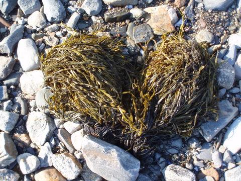 sea fiber heart