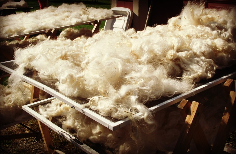 Long, lustrous fleece clean and waiting for the dye pot