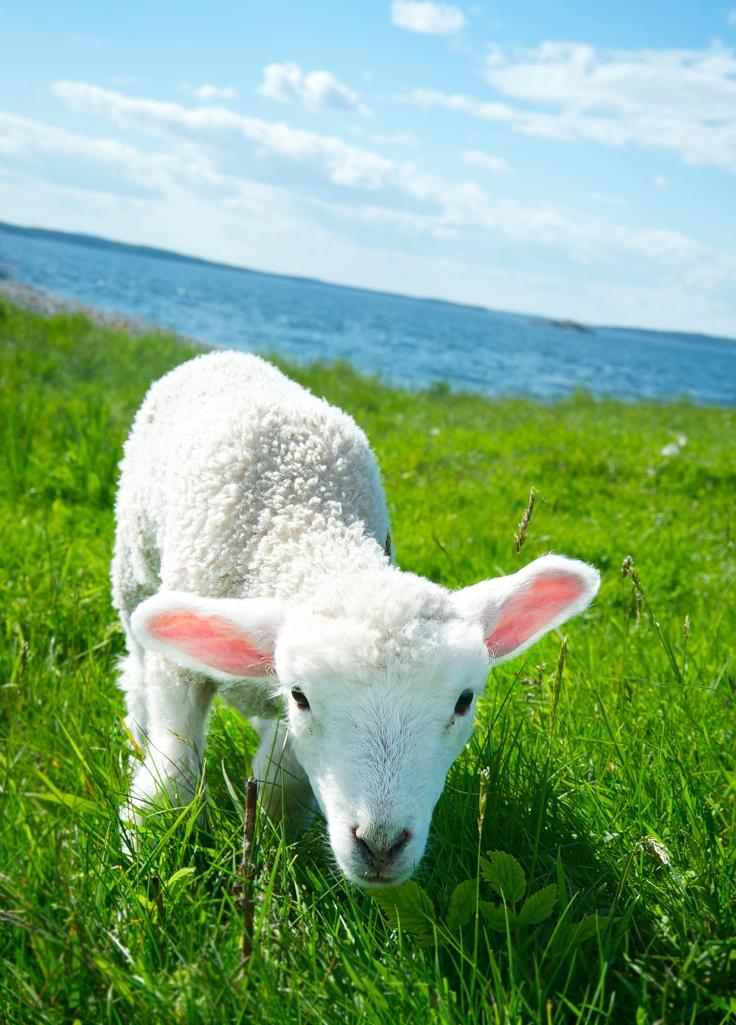 zucker_lamb