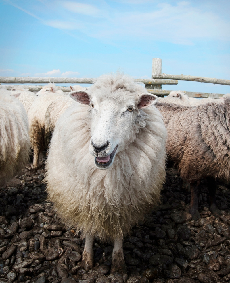 Gale took this photograph at a spring shearing